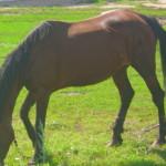 лошадь Пеньково (2)